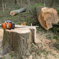 Safely felled ash tree