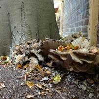 beech fungi