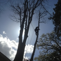 Beech tree removal at Horsham in Sussex