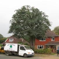 After reducing cedar tree at Haywards Heath