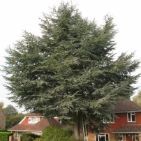 Before reducing cedar tree at Haywards Heath, West Sussex
