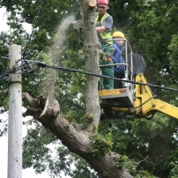 Careful dismantling of oak tree over power line at Sayers Common, Mid Sussex