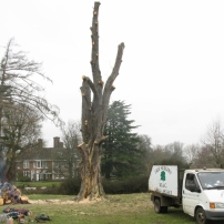 Final stages of felling horse chestnut, Mid Sussex