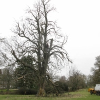 Before dismantling and felling diseased horse chestnut tree, Mid Sussex
