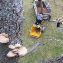 Fungal brackets on diseased horse chestnut tree, Mid Sussex