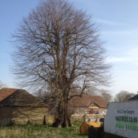 Before reducing lime tree at Poynings, West Sussex