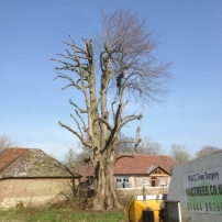 During reducing lime tree at Poynings, West Sussex