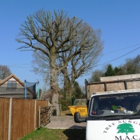 After reshaping oak tree at Wivelsfield Green, Mid Sussex