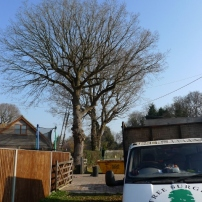 Before reshaping oak trees at Wiversfield Green, Mid Sussex