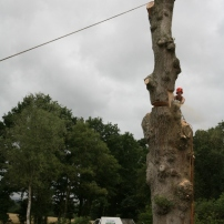 Safely felling large oak tree, Sussex