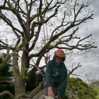Reducing oak tree at Burgess Hill, West Sussex