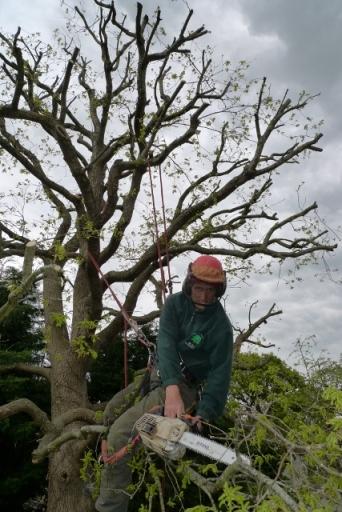 oak prunning