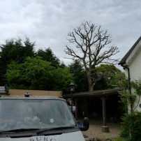 Reshaping oak tree at Twineham, West Sussex