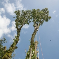 Dismantling poplar trees at Newtimber, West Sussex