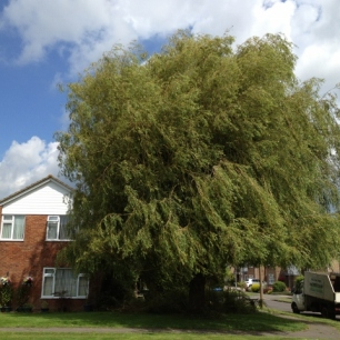 Willow tree before pollarding at Hurstpierpoint, Sussex